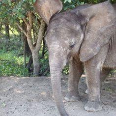 Aviva Volunteers. Did you know that Hoedspruit Endangered Species Centre not only cares for cheetahs but orphaned rhinos and orphaned Elephants too.
