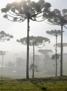 Araucária-  pinheiro símbolo do Paraná-Brasil