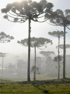 """ Field of araucaria pine trees  in morning fog """