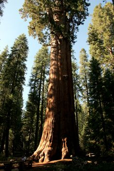Sequoia, Redwood: The Giant Sequoia General Sherman, the worlds largest tree, in Sequoia National Park    check