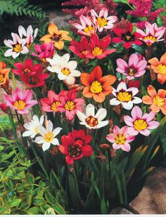"""Harlequin Flowers: (SUN/SHADE) """"Cheerful harlequin flowers produce star shaped flowers in a rainbow of colors. Drought tolerant. Spacing 2-3"""". Bulb size: 5cm+ in circ."""""""