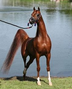 #horses  Arabian beauty