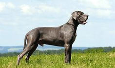 Great Dane Dog Breed Information