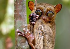 Wildlife filmmaker Gordon Buchanan takes a picture of a Tarsier