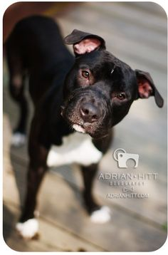 Meet Dublin. He is a nine-month-old Pit Bull/American Staffordshire Terrier mix looking for a forever home! This boy is handsome and so loving. I just adore his white chest and white-dipped paws!