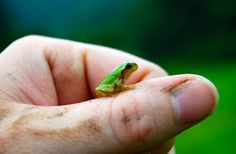 """Une petite grenouille se repose sur la main d'un homme. Cette photo est tirée de l'émission """"Les aventures de Brady Barr"""". #NatgeoWild"""