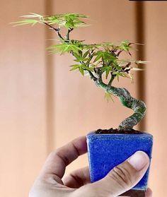 Succulent Bonsai, Terrarium Plants, Bonsai Plants, Bonsai Garden, Garden Trees, Garden Plants, Bonsai Mame, Bonsai Tree Types, Inside Plants