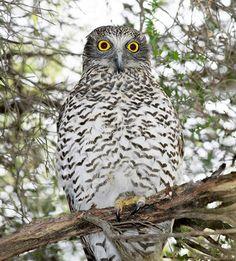 Powerful Owl (Ninox strenua) by Julian Robinson <
