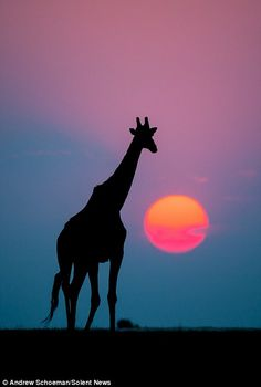 Dwarfing the sun: A giraffe appears to tower over the sun as it sets. Photographer Andrew Schoeman