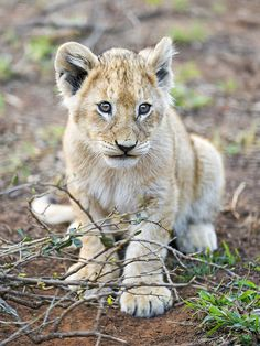 Cute lion cub posing on the bush Baby Animals Pictures, Cute Animal Pictures, Cute Baby Animals, Wild Animals, Baby Tigers, Baby Lions, Tiger Cubs, Tiger Tiger, Bengal Tiger