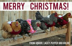 I'm feeling next years Christmas card! Chicken Sweater, Silkie Chickens, Weird Gifts, Happy Husband, Merry Christmas Everyone, Jumpers, Christmas Cards, Sweater Patterns, Chicken Ideas