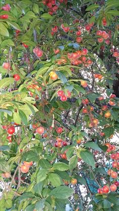 fruitful plum tree in Rome Italy  http://www.just-commerce.net
