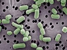 Lactobacillus brevis - MicrobeWiki