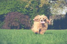 happy poodle ❤️❤️❤️  #dog #dogs #dogsperts #pets #love #doglovers #cute #cuteness #puppies #pup #pups #happydog #fun #happiness #ilovemydog #poodle