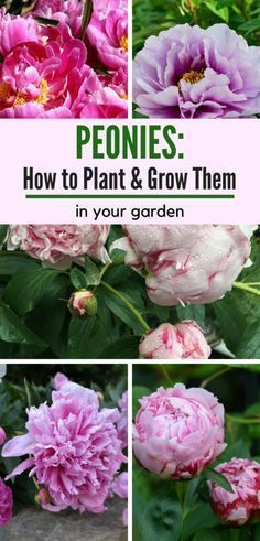 Learn how to grow your own peonies! This low-maintenance perennial is easy to ca. Learn how to grow your own peonies! This low-maintenance perennial is easy Low Maintenance Landscaping, Low Maintenance Garden, Garden Care, Beautiful Flowers Garden, Beautiful Gardens, Gardening For Beginners, Gardening Tips, Kitchen Gardening, Peony Care