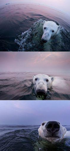 Hudson Bay bear:)
