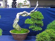 Shimpaku for sale
