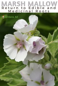 """Marsh Mallow – a Return to Edible and Medicinal Roots: Wild edible and medicinal, the marshmallow plant, after which the marshmallow treat was named, comes from a large family of mallows. Called Malvaceae, the Mallow family includes okra, hibiscus and cottons, and the latin for marshmallow, Althea officinalis, is named after the Greek Althea, meaning """"heal"""" or """"cure"""".   #marshmellowplant #growing #medicalherbs"""