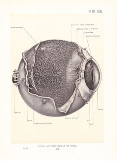 1899 Human Anatomy Print  Exterior and Middle Eyeball  by Holcroft, $20.00