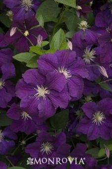 Clematis viticella 'Etoile Violette'         Love it with yellow roses. :)