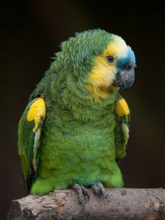 Blue-fronted Amazon (Amazona aestiva).