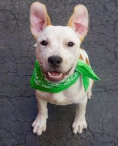 6/24/16 SL!! THALES – A1077582 MALE, WHITE / BROWN, STAFFORDSHIRE MIX, 7 mos STRAY – STRAY WAIT, NO HOLD Reason STRAY Intake condition UNSPECIFIE Intake Date 06/15/2016, From NY 10459, DueOut Date 06/18/2016,