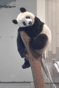 今日のパンダ(2259日目) | 毎日パンダ Like Animals, Jungle Animals, Cute Baby Animals, Animals And Pets, Funny Animals, Panda Bebe, Cute Panda, Panda Panda, Panda Wallpapers