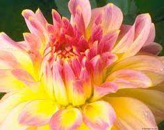 3 Dahlia Flowers Yellow
