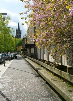 Blossom on the trees on University Gardens, University of Glasgow.