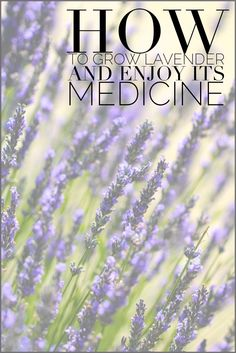 Lavender's medicinal and aromatherapy uses, including cultivation. Blog Castanea