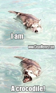 Funny Animal Memes Of The Day – 52 Pics - Lovely Animals World 32 Funny Animals Guaranteed to Make You Laugh This dog got tricked LOL 24 Funny Animal Pictures Of The Da. Funny Animal Jokes, Funny Dog Memes, Cute Funny Animals, Funny Animal Pictures, Cute Baby Animals, Funny Cute, Funny Dogs, Humorous Animals, Funny Husky