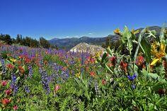 Sierra Wildflower Alert / http://www.sleeptahoe.com/sierra-wildflower-alert/