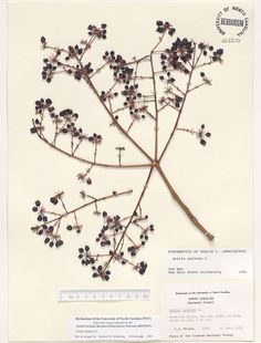 Aralia_spinosa,Resources for Botanical Sketchbooks, , Resources for Art Students at CAPI::: Create Art Portfolio Ideas milliande.com, Art School Portfolio Work, , Botanical, Flowers, Plants, Leaves,Stem Seed, Sketching, Herbarium