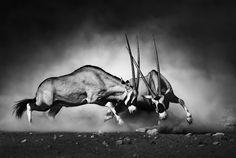 Gemsbok fight by Johan Swanepoel - Photo 98281069 - 500px