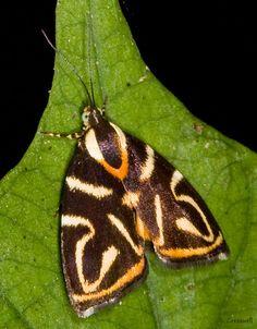 Choreutidae - Pesquisa Google