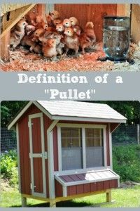 Definition of a Pullet Collage