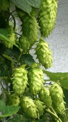 Cascade Hops Farmer's Daughter, Fresh Fruits And Vegetables, Farmers, Brewing, Beverages, Beer, Design Ideas, Foods, Nice