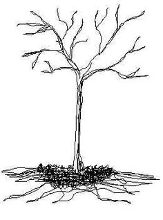 Line drawing of planted tree with mulch around tree