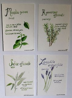 botanical series rosemary illustration with by TheBlueStudio