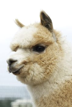 Brave Little Ollie from Blue Sky Alpacas blog