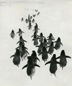 Parade of Penguins