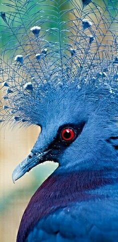 Exotic birds - Victoria Crowned Pigeon                                                                                                                                                                                 More