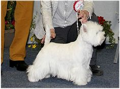 CH BURNEZE OUR MARNIE Breed: West Highland White Terrier