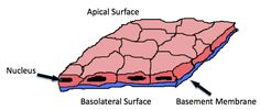 Small diagram of the basic structure of a tissue: basement membrane, nucleus, apical surface. Body Tissues, Anatomy And Physiology, Blood Vessels, Biology, Nursing, Fun Facts, Surface, Diagram
