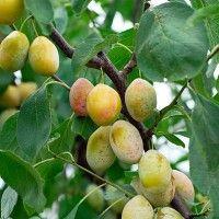 Slivoň ´Tipala´ (belica) žlutá švestka - (skladem od 15.5.2017) Trees And Shrubs, Fruit Trees, Gardening, Guava Fruit, Wine Cellars, Fruit, Health, God, Garden