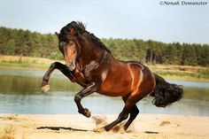 Andalusier horse stallion rearing by xTitanic on DeviantArt