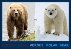 4393365------+#+-++0000000000000000+all+bears+grizzly+bear+versus+polar+bear+.jpg (860×608)