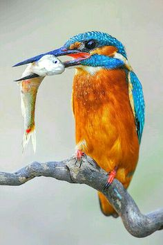 Kingfisher with Catch by Martin Pescador Spain Most Beautiful Birds, Pretty Birds, Love Birds, Exotic Birds, Colorful Birds, Exotic Pets, Common Kingfisher, Kingfisher Bird, Beautiful Creatures
