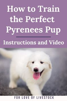Learn how to train your Great Pyrenees with positve training methods. Whether you're interested in obedience training, crate training, potty training, or leash training, you'll find step-by-step written and video instructions right here! Leash Training, Crate Training, Training Your Dog, Potty Training, Training Classes, Pyrenees Puppies, Great Pyrenees Puppy, Chihuahua Puppies, Dog Training Methods
