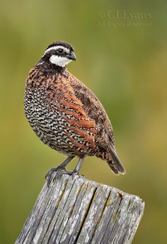 Bobwhite Quail -At night, these birds keep a watch for predators by forming a covey circle on the ground, with heads facing out and tails pointing in. They build their nest on the ground and female can lay up to 20 eggs at once. Quail Hunting, Hunting Dogs, Hunting Stuff, Exotic Birds, Colorful Birds, Pretty Birds, Beautiful Birds, Animals Beautiful, Game Birds